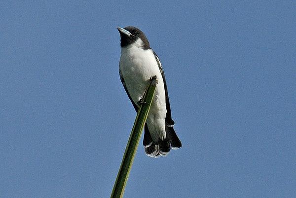 Birds of Fiji
