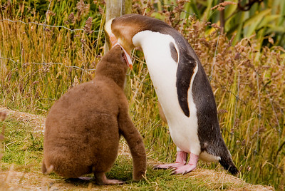 Yellow-eyed Penguin feeding chick (about 9 weeks old)