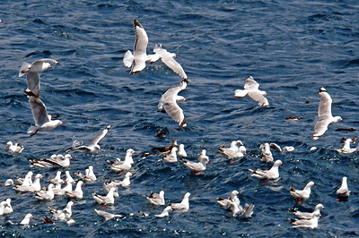Little Shearwaters and Red-billed Gulls