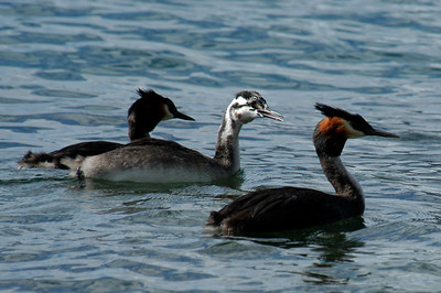 Australasian Crested Grebes - Parents with chick