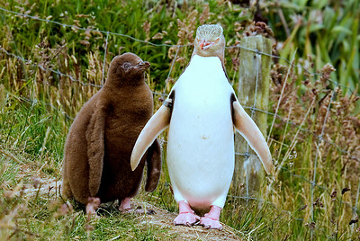 Yellow-eyed Penguin with chick
