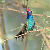 Male Broad-billed Hummingbird, Paton's feeders, Santa Cruz County, 9-10-13. Cropped image.