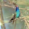 Male Broad-billed Hummingbird, Paton's feeders, Santa Cruz County, 9-10-13. Cropped image.