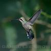 Female Broad-billed Hummingbird, Paton's feeders, Santa Cruz County, AZ, 9-10-13. Cropped image.