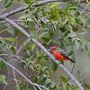 Male Vermilion Flycatcher, Paton's, Santa Cruz County, 9-10-13. Cropped image.