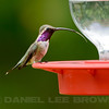Male Lucifer's Hummingbird, Madera Canyon, Arizona. Cropped image. 8-21-13