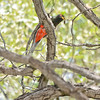 Male Elegant Trogon with a caterpillar, Huachuca Canyon, Cochise County, Arizona. Cropped image. 8-22-13