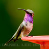 LUCIFER'S HUMMINGBIRD, male