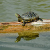 Red-eared Slider, Gilbert Water Ranch, Maricopa County, Arizona, 9-8-13. Cropped image.