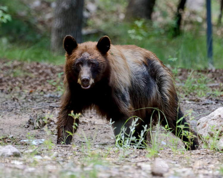 Young Black Bear,  Huachuca Canyon, Cochise County, Arizona. Cropped image. 8-22-13