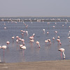 Flocks and flocks of Lesser Flamingos (with dark beaks) and some Greater Flamingos too.<br /> Walvis Bay, Namibia<br /> September 11, 2013