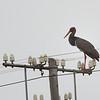 Black stork (Ciconia nigra) - a rare bird to see.