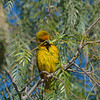 Cape Weaver ((Ploceus capensis) with material to add to his nest<br /> South Africa<br /> September 5, 2013
