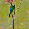 Malachite Sunbird (Nectarinia famosa) on an aloe plant<br /> South Africa<br /> September 5, 2013