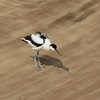 A Pied Avocet (Recurvirostra avosetta) and its shadow<br /> Walvis Bay, Namibia<br /> September 11, 2013