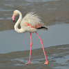Greater Flamingo (Phoenicopterus roseus)<br /> Walvis Bay, Namibia<br /> September 11, 2013