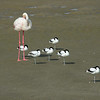 Six Pied Avocets (Recurvirostra avosetta) resting on one leg each with a Greater Flamingo<br /> Walvis Bay, Namibia<br /> September 11, 2013