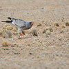 Pale Chanting Goshawk (Melierax canorus)<br /> Namibia<br /> September 8, 2013