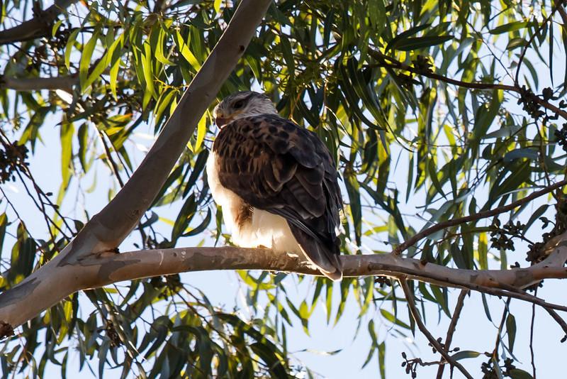 Ferruginous Hawk<br /> Lake Forest, CA<br /> December 31, 2012