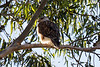Ferruginous Hawk<br /> Lake Forest, CA<br /> December 31, 2012