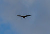 Zone-tailed Hawk<br /> Lake Forest, CA<br /> December 31, 2012