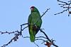 Red-crowned Parrot<br /> Santiago Oaks Regional Park<br /> January 2, 2012