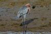 Reddish Egret, Bolsa Chica Ecological Reserve,  29 December 2014