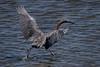Reddish Egret<br /> Bolsa Chica Ecological Reserve<br /> August 26, 2012