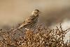 Large-billed (Savannah) Sparrow??<br /> Bolsa Chica Ecological Reserve<br /> December 29, 2012
