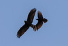 Zone-tailed Hawk and American Crow<br /> Lake Forest, CA<br /> December 31, 2012