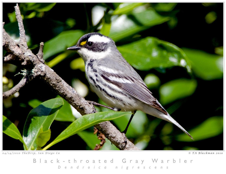 Warbler_Black-throated Gray TAB10MK4-14112