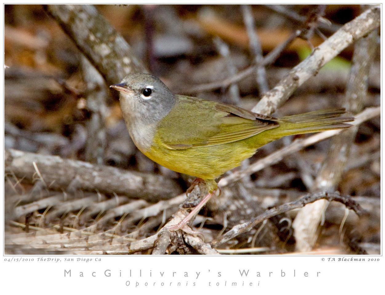 Warbler_MacGillivray's TAB10MK4-14577