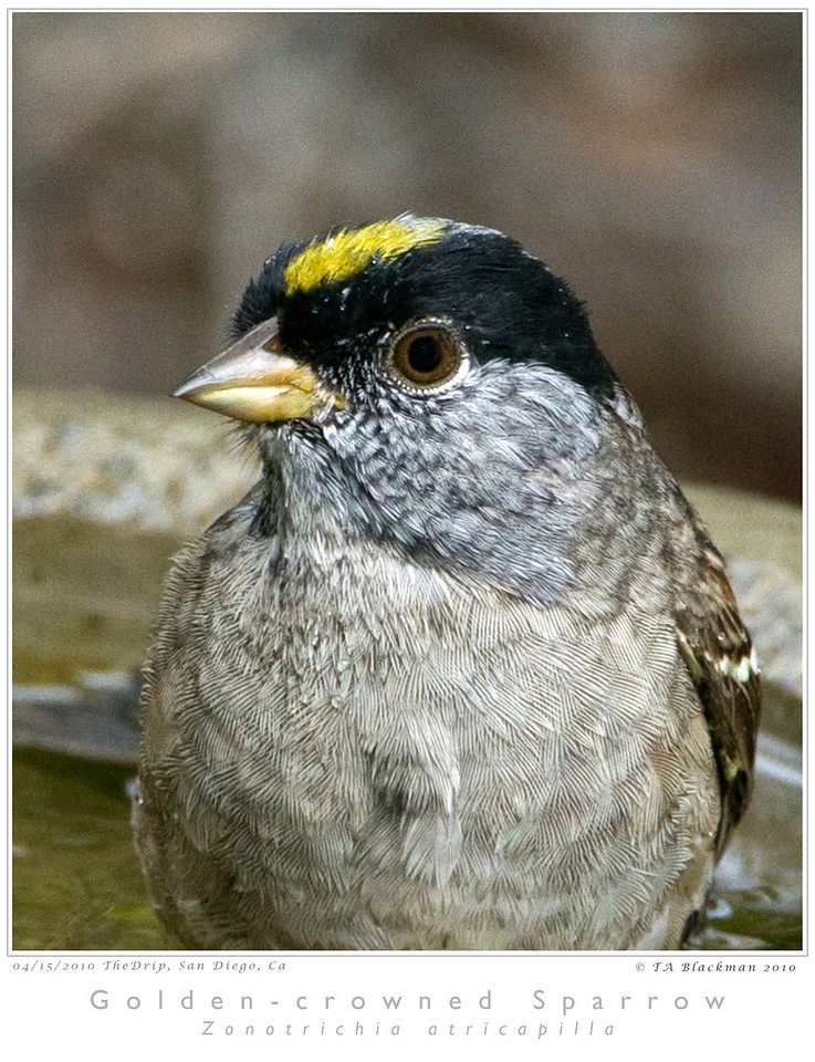 Sparrow_Golden-crowned TAB10MK4-14325