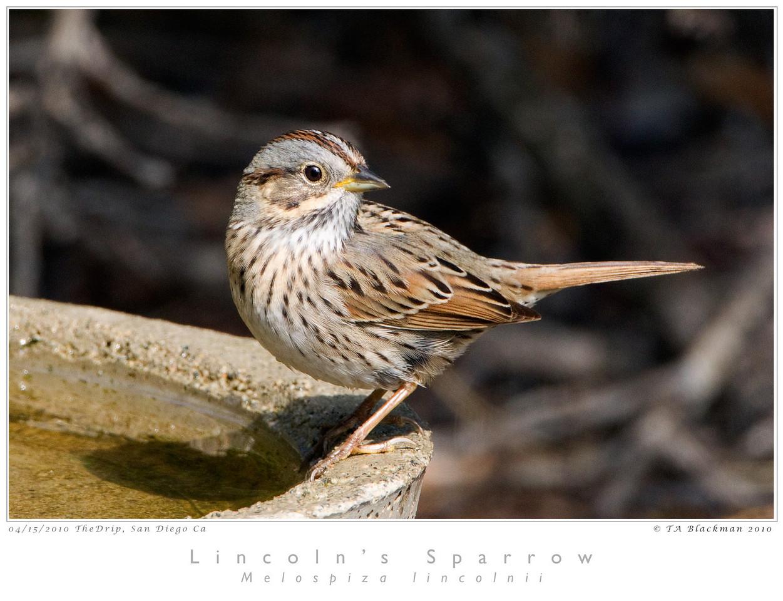 Sparrow_Lincoln's TAB10MK4-14525