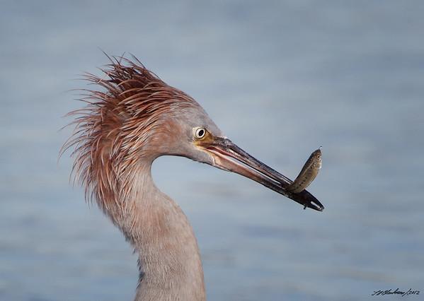 Reddish Egret<br /> Egretta rufescens