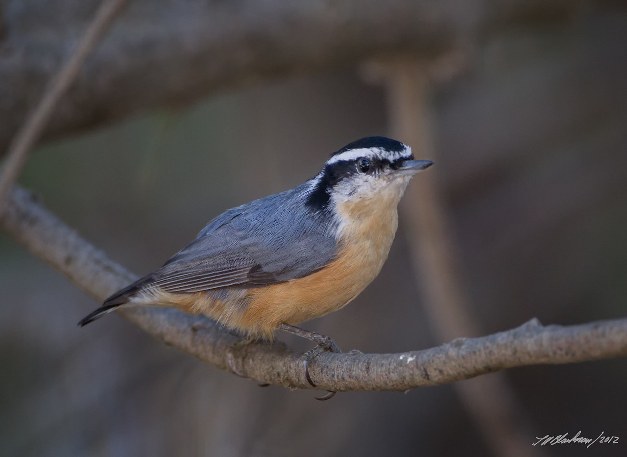 Red-breasted Nuthatch<br /> Sitta canadensis