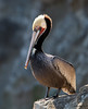 Brown Pelican<br /> Pelecanus occidentalis