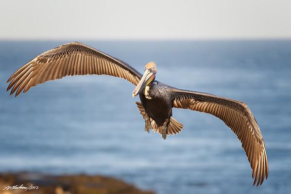 Brown Pelican<br /> Pelecanus occidentalis