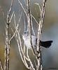 California Gnatcatcher<br /> Polioptila californica