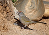 Green-tailed Towhee<br /> Pipilo chlorurus