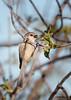 Common Bushtit<br /> Psaltriparus minimus