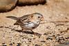 Harris's Sparrow<br /> Zonotrichia querula