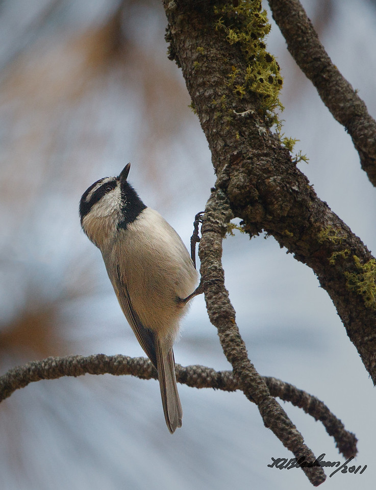 Mountain Chickadee<br /> Poecile gambeli