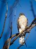 Sharp-shinned Hawk<br /> Accipiter striatus