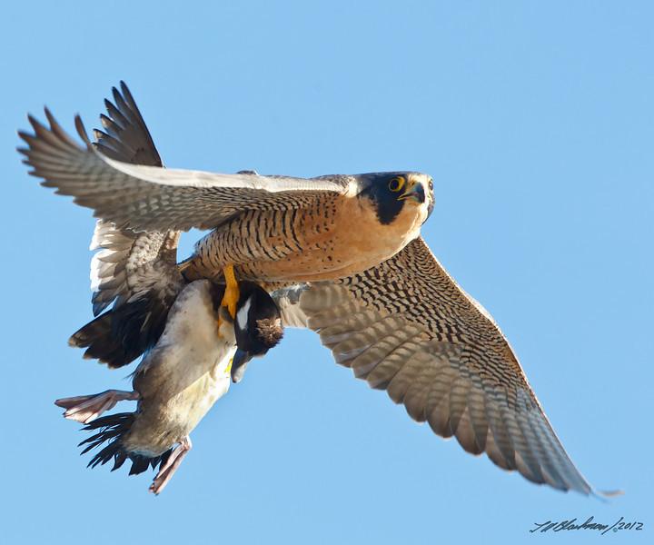 Peregrine Falcon w/Bufflehead<br /> Falco peregrinus