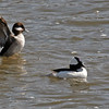 Male and female Bufflehead in the Santa Ana River near Yorba Linda.