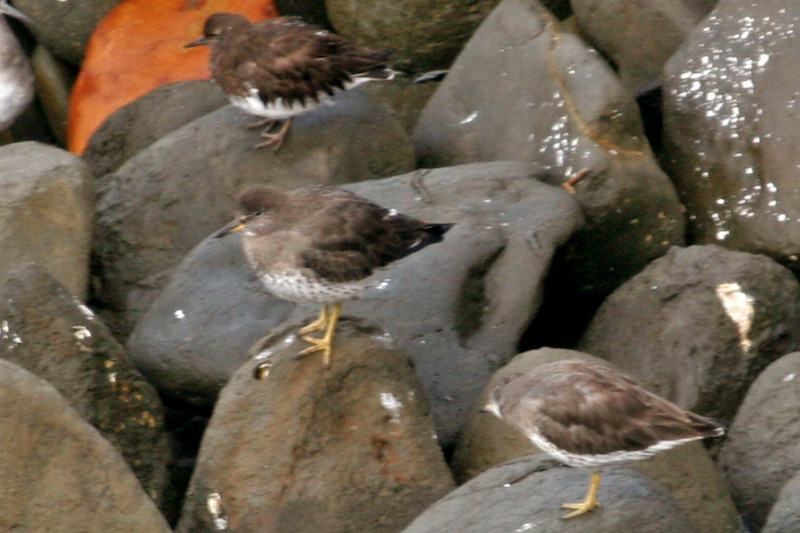 I believe all three of these are Surfbirds, although the one in back doesn't quite fit the descriptions. Maybe a Black Turnstone?