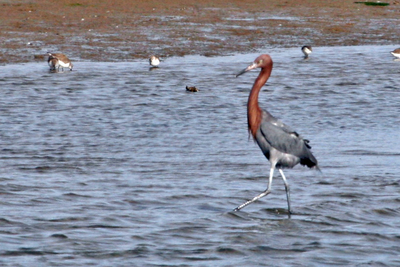 Reddish Egret - A lifer for us and a rare egret in Southern California.