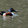 "Nice view of the Northern Shoveler's bill. Now you know why he's called a ""shoveler""."