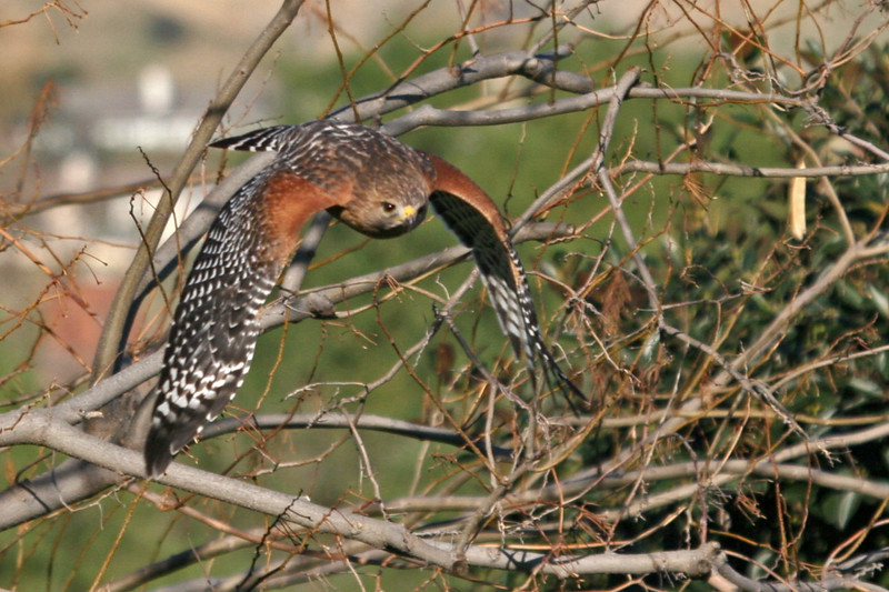 The Red-shouldered Hawk decides to leave and flew down Paseo de la Cumbre to the neighbor yard.